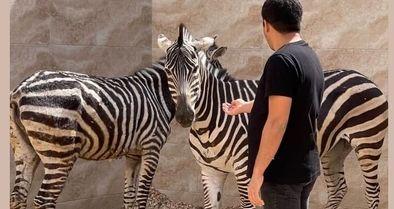 دومین گورخرِ باغوحش صفادشت هم تلف شد