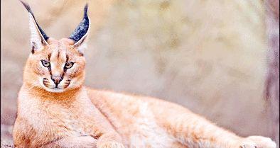 مشاهده گربه منگولهگوش در ارومیه
