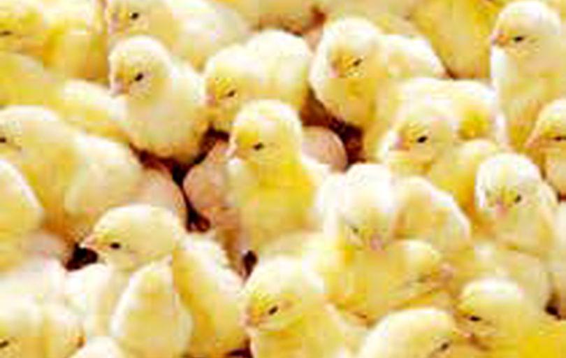افزایش نگرانی در تولید مرغ با رشد نجومی قیمت جوجه یکروزه