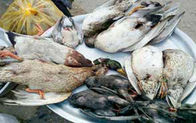 سالانه یک میلیون پرنده مهاجر خورده میشود