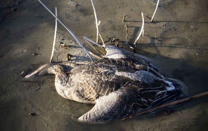 مرگومیر پرندگان به سواحل بندرگز  رسید